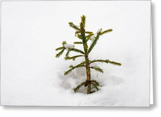 Snowbound Greeting Cards - Top of a green conifer tree with lots of snow in winter Greeting Card by Matthias Hauser