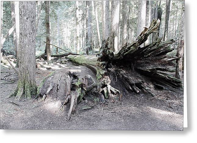 Forest Floor Greeting Cards - Toppled Old Growth Cedar Greeting Card by Daniel Hagerman