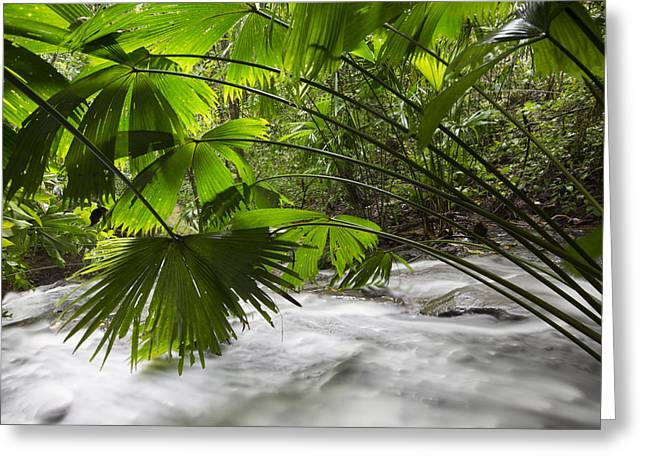 Cyril Greeting Cards - Toquilla Palm Fronds Barro Colorado Isl Greeting Card by Cyril Ruoso