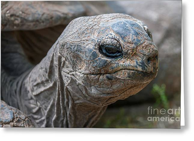 Large Scale Greeting Cards - Tortoise Greeting Card by Sharon Day