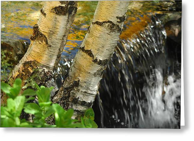 Birch Tree Greeting Cards - Totally Birching Greeting Card by Donna Blackhall
