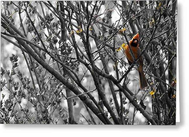Avian Art Greeting Cards - Touch Of Red Greeting Card by Gothicolors Donna Snyder