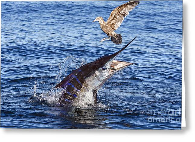 Striped Marlin Greeting Cards - Touche Greeting Card by Scott Kerrigan