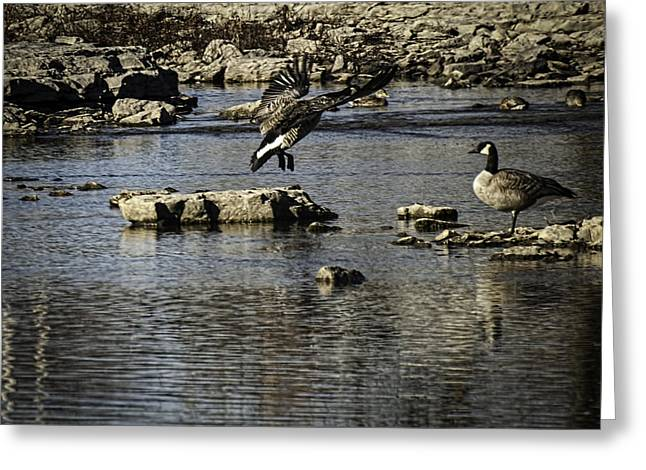 Geese Greeting Cards - Touching Down Greeting Card by Thomas Young