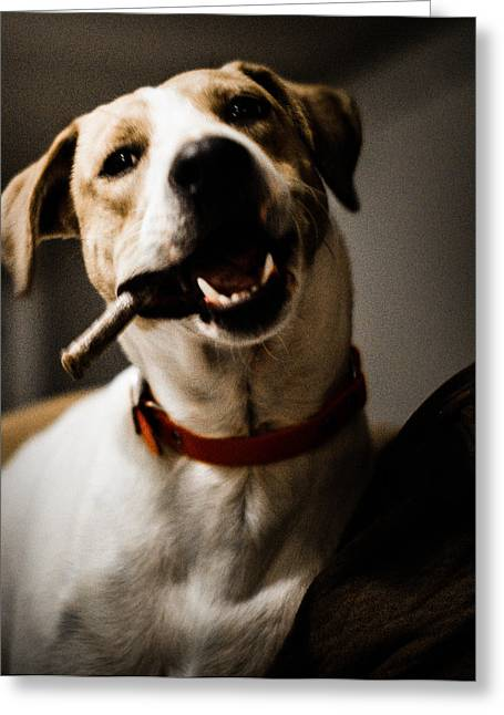 Toy Dog Greeting Cards - Tough Guy Greeting Card by Carlee Ojeda