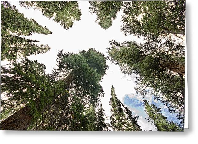 Towering Pine Trees Greeting Card by James BO  Insogna
