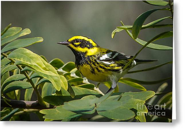 Setophaga Greeting Cards - Townsends Warbler Greeting Card by Kim Michaels