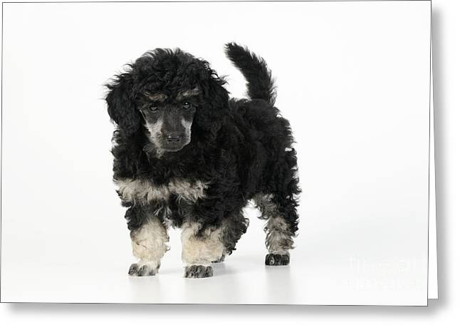 Phantom Dog Greeting Cards - Toy Poodle Puppy Greeting Card by John Daniels