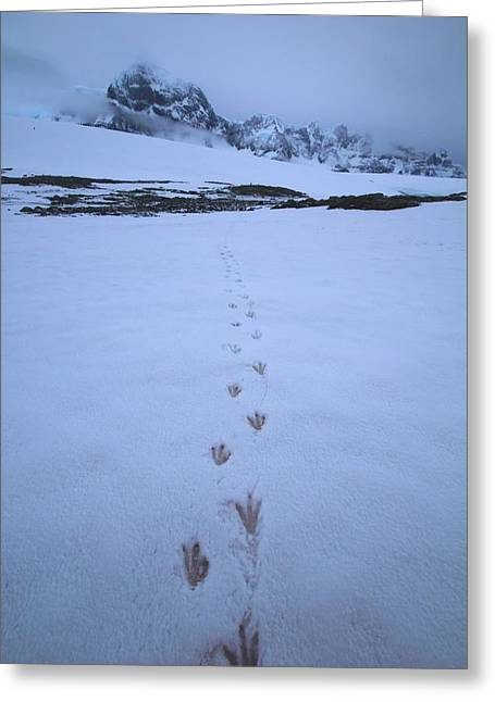 Penguins Greeting Cards - Tracks In The Snow Greeting Card by FireFlux Studios