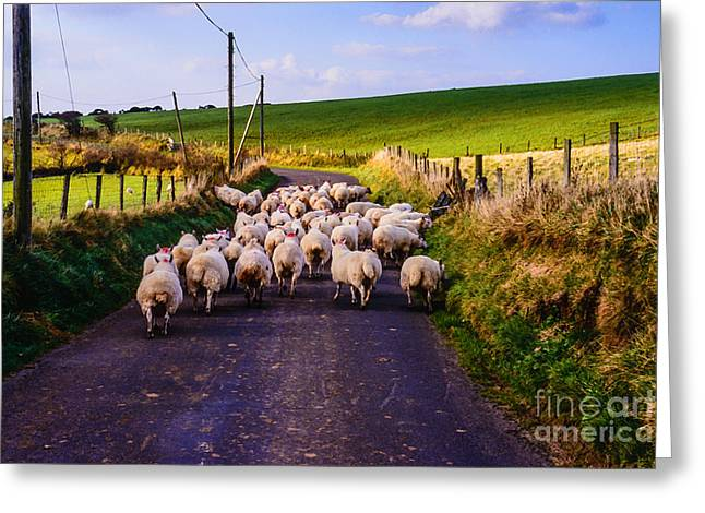 Ballycastle Greeting Cards - Traffic Jam of Sheep Greeting Card by Thomas R Fletcher