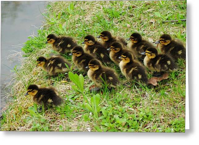 Baby Mallards Greeting Cards - Traffic Jam Greeting Card by Frozen in Time Fine Art Photography