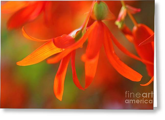Trailing Greeting Cards - Trailing Orange Begonia Greeting Card by Corey Ford