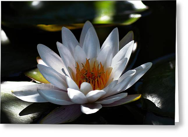 Water Lilly Greeting Cards - Translucent Water Lilly Greeting Card by Daniel Hagerman