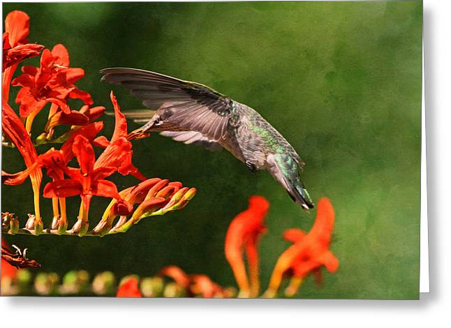 Crocosmia Greeting Cards - Transparency Greeting Card by Donna Kennedy