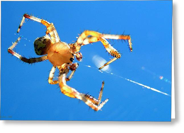 Marbled Orb Weaver Greeting Cards - Trapeze Spider Greeting Card by Christina Rollo