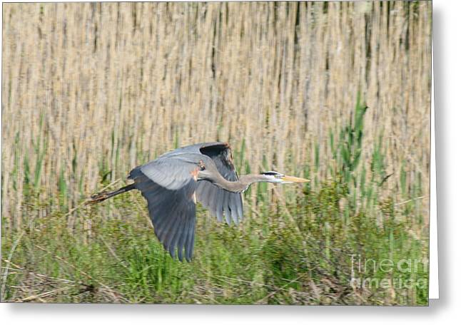 Wildlife Greeting Cards - Traveling Blue Heron   Greeting Card by Neal  Eslinger