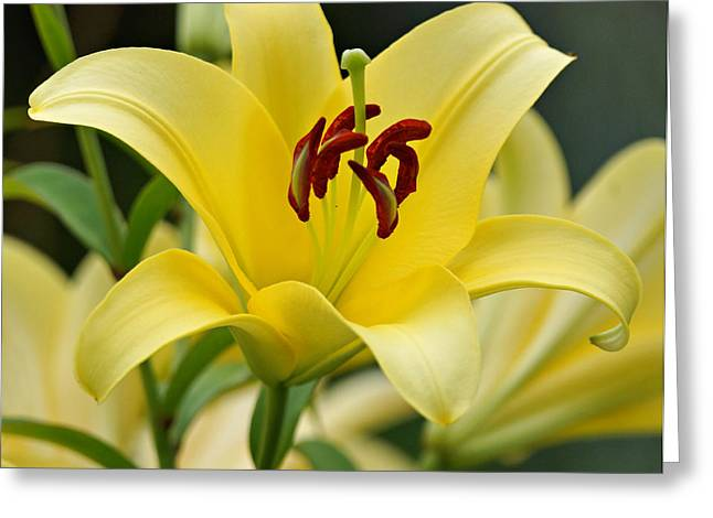 Indiana Flowers Greeting Cards - Trebbiano Lily Greeting Card by Sandy Keeton