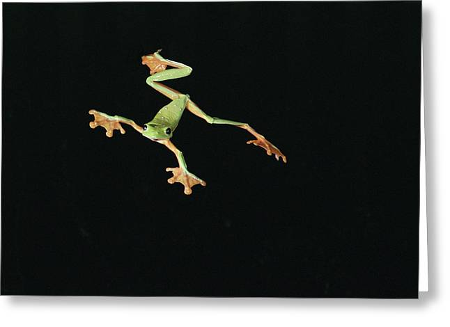 Recently Sold -  - Flying Frog Greeting Cards - Tree And Leaf Frog Jumping Greeting Card by Michael and Patricia Fogden
