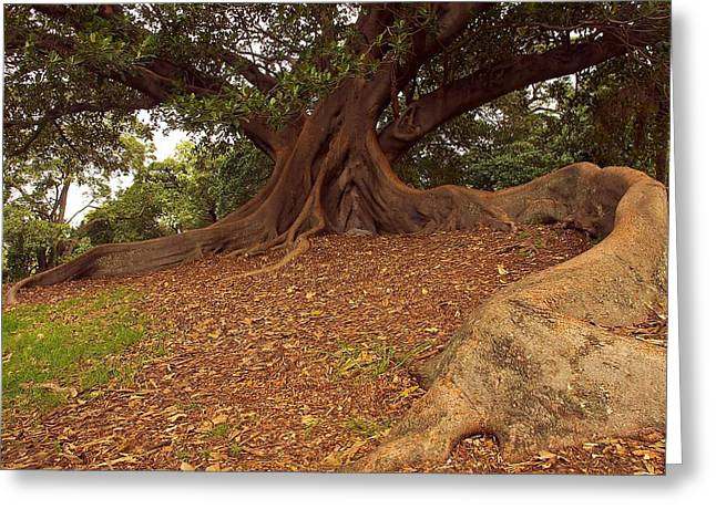 Tree Roots Greeting Cards - Tree at Royal Botanic Garden Greeting Card by Stuart Litoff
