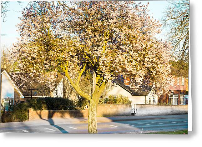 Spring Street Greeting Cards - Tree blossom Greeting Card by Tom Gowanlock