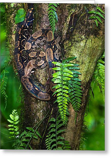 Tree Boa On A Tree, Sarapiqui, Costa Greeting Card by Panoramic Images