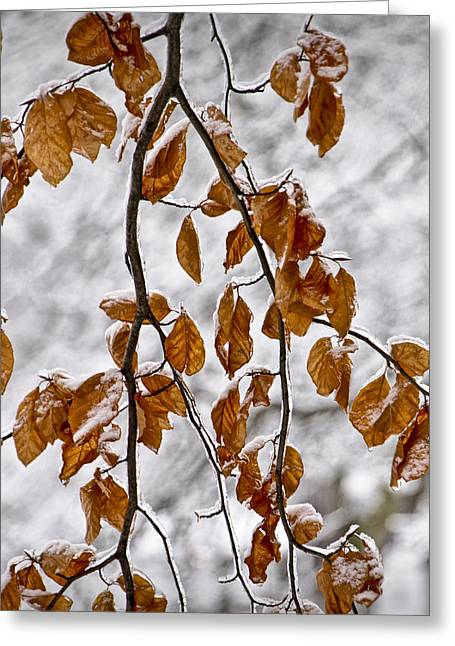 Snow Tree Prints Greeting Cards - Tree Branch and Leaves with Winter Snowfall in Garfield Park No. 1084 Greeting Card by Randall Nyhof