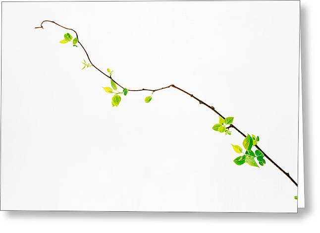 Generate Life Greeting Cards - Tree Branch On Whitish Background Greeting Card by Panoramic Images