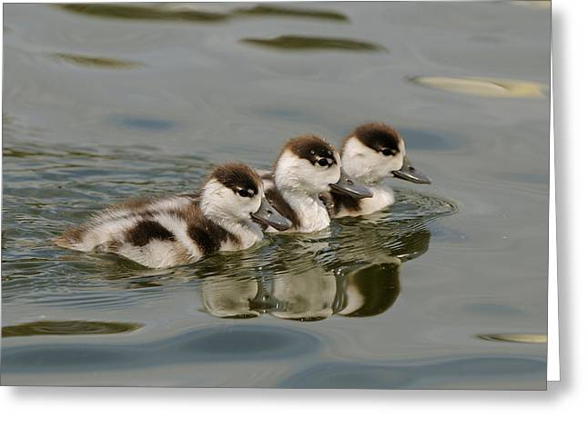 Ducklings Greeting Cards - Tree Common Shelduck Ducklings Greeting Card by Malcolm Schuyl