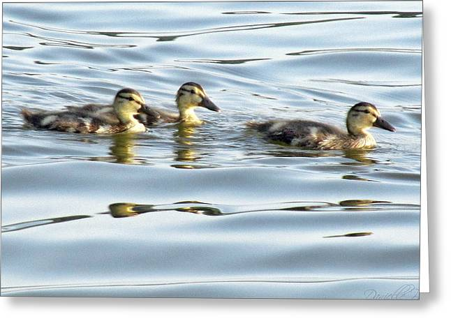 Baby Mallards Digital Art Greeting Cards - Three Ducklings Swimming At Cootes Paradise Greeting Card by Danielle  Parent