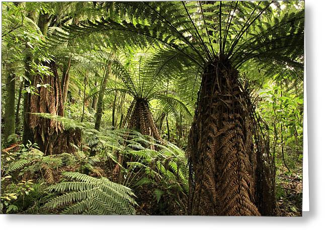 Tree Ferns Greeting Card by Les Cunliffe