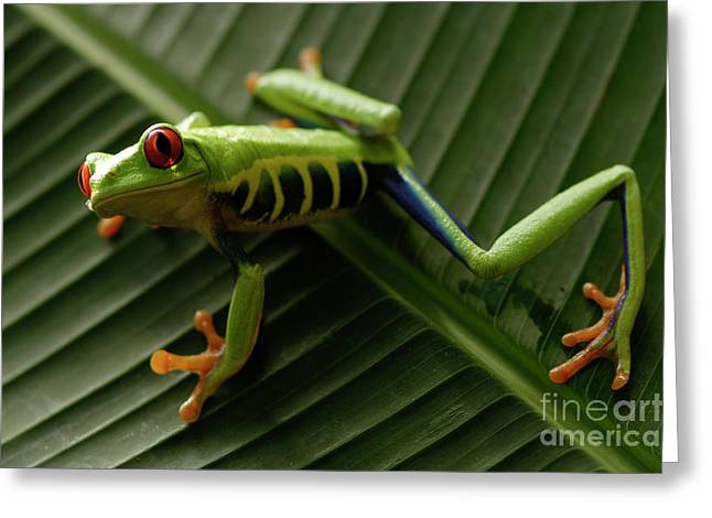 Bob Christopher Greeting Cards - Tree Frog 16 Greeting Card by Bob Christopher