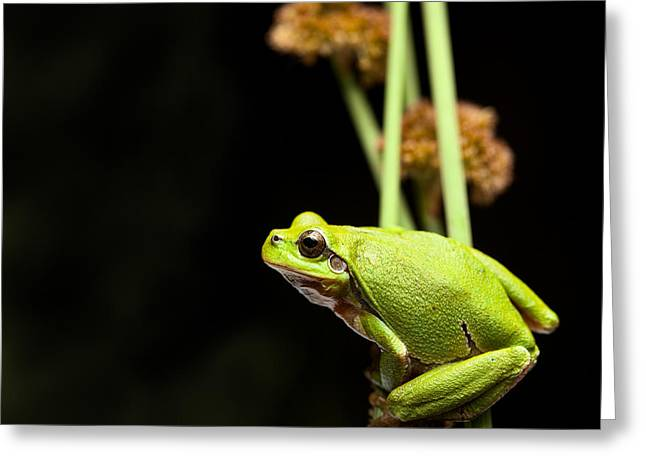 Tree Frog Greeting Cards - Tree frog crawling Greeting Card by Dirk Ercken