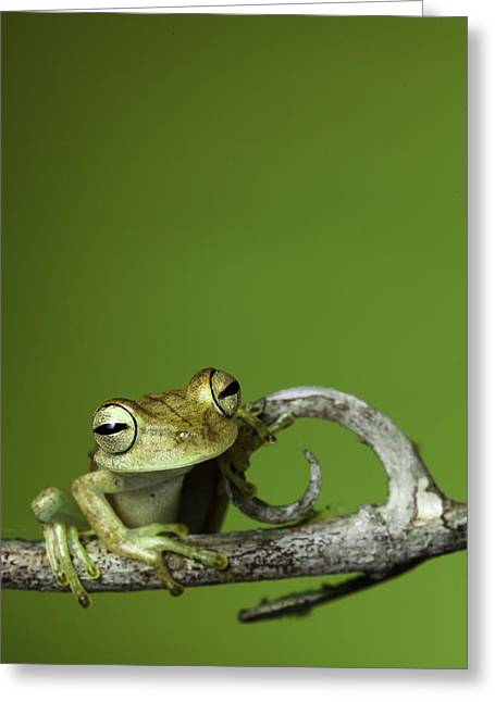 Frogs Greeting Cards - Tree Frog Greeting Card by Dirk Ercken