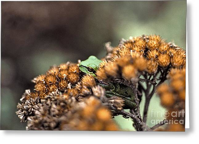 Pacific Tree Frog Greeting Cards - Tree frog Greeting Card by Howard Stapleton