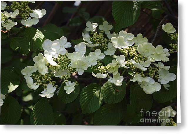 Tree Hydrangea Greeting Card by Nancy Kane Chapman