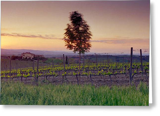 Vineyard Landscape Greeting Cards - Tree In A Vineyard, Val Dorcia, Siena Greeting Card by Panoramic Images