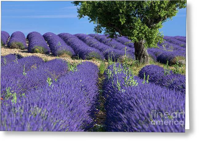 Tree In Lavender Greeting Card by Brian Jannsen