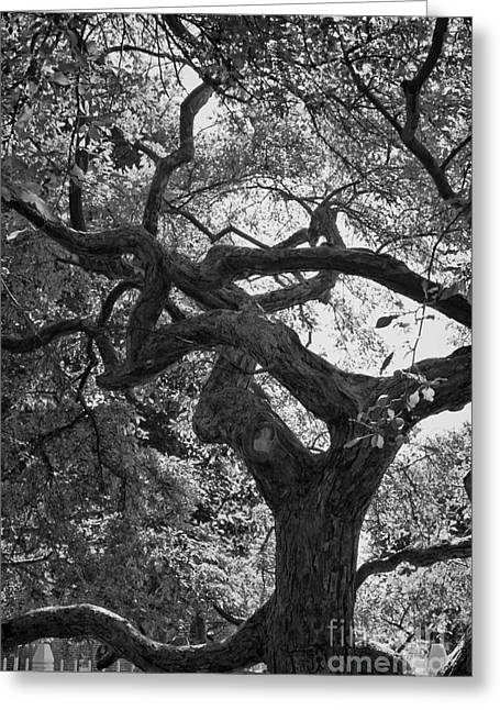 Gnarly Greeting Cards - Tree In Prescott Park - bw Greeting Card by K Hines
