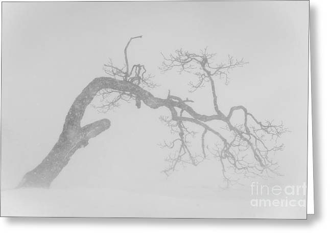Snowstorm Greeting Cards - Tree In Snowstorm Greeting Card by John Shaw