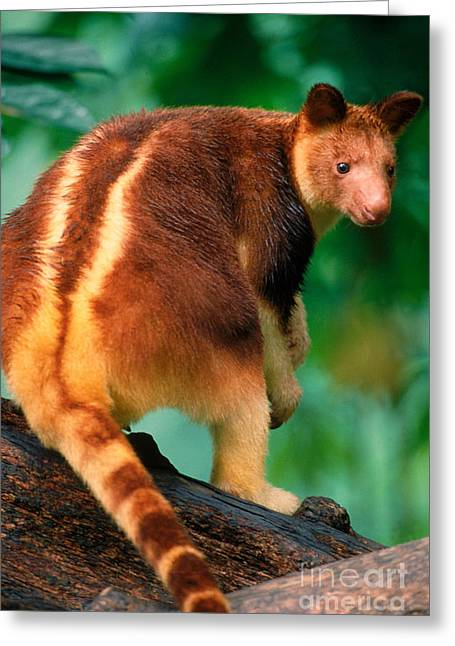 Kangaroo Greeting Cards - Tree Kangaroo Greeting Card by Art Wolfe