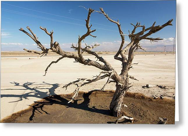 Tree Killed By Drought Greeting Card by Ashley Cooper