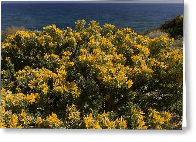 Chios Greeting Cards - Tree Medick (Medicago arborea) Greeting Card by Science Photo Library