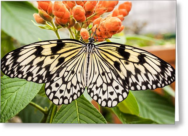 Kite Greeting Cards - Tree Nymph Butterfly Greeting Card by Michel Emery