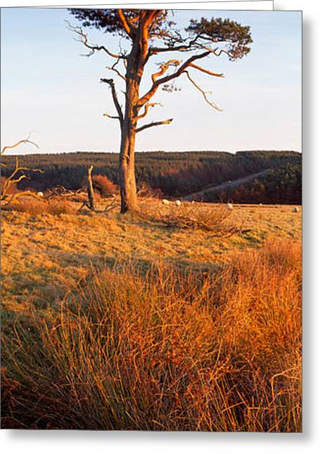 Scarborough Greeting Cards - Tree On A Landscape, Golden Hour Greeting Card by Panoramic Images