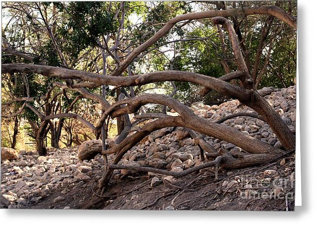 Abstract Digital Greeting Cards - Tree Root Growing in Ein Gedi Greeting Card by Michael Braham