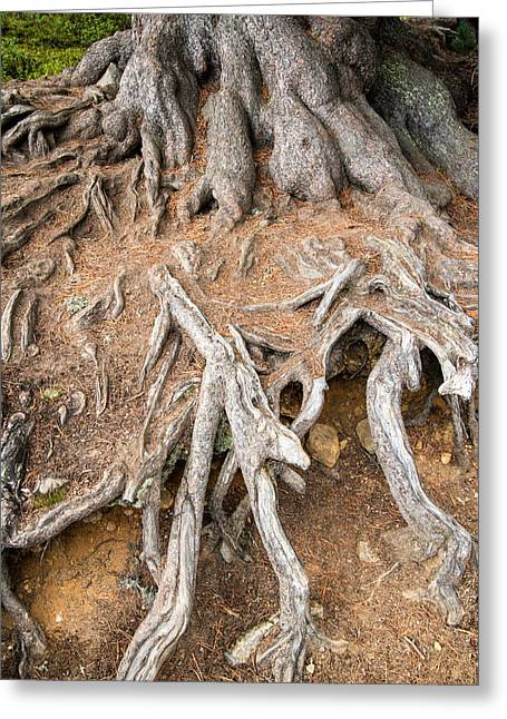 Tree Roots Greeting Cards - Tree root Greeting Card by Matthias Hauser