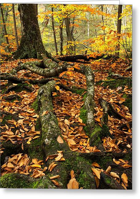 Tree Roots Greeting Cards - Tree Roots Greeting Card by Amanda Kiplinger