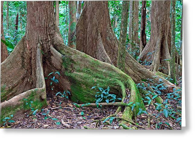 Tree Roots Greeting Cards - Tree Roots Tropical Rainforest Greeting Card by Dirk Ercken