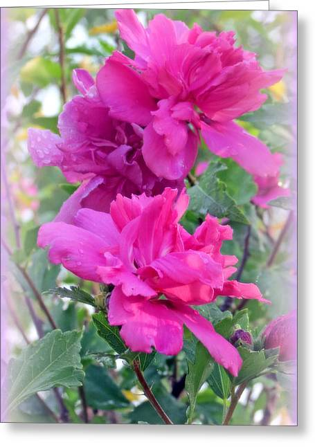 Pinks And Purple Petals Digital Art Greeting Cards - Tree Roses Of Sharon Greeting Card by Kay Novy