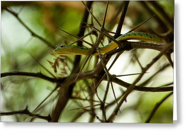 Forked Tongue Greeting Cards - Tree snake 2 Greeting Card by Alistair Lyne
